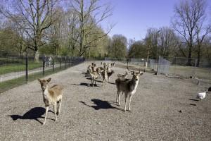 De herten verdwijnen vanaf komend najaar uit het Stadspark. © Henk Tammens